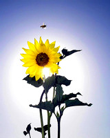 Sunflower & Bee